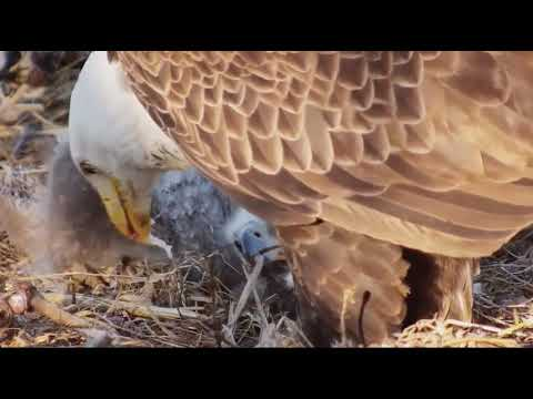 Decorah North Eagles Mr.North & DN9 Sharing a Fish Dinner 4/23/19