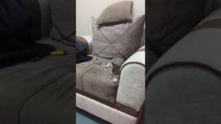 Akıllı kedi xıme komutları dinliyor