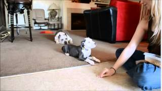 10wk Pitbull Puppy 3rd Training Session (sit/down/look/leave Food)
