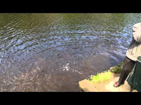 Lido Knaresborough Restocking Trout