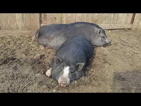 Затраты на кормление вьетнамских свиней и как я лоханулся при покупке поросят