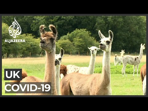 UK scientists: llamas may provide COVID-19 treatment