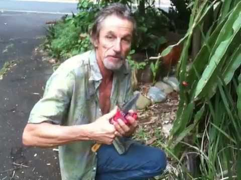 Dragonfruit Harvest