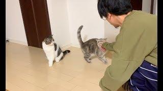 早く遊びたい子猫としつこくフェイントをかけまくる飼い主【猫】【かわいい】【エキゾチックショートヘア】 thumbnail
