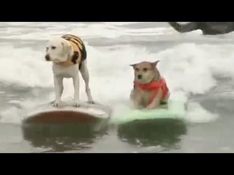 Competencia anual de surf para perros: adorables, cool y con estilo