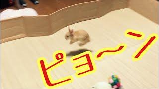 【ウサギの運動】うさぎがピョン ピョンして、楽しそ〜です。 thumbnail