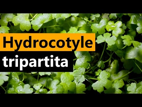 Hydrocotyle tripartita planting Emersed Aquarium plant