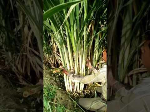 Sugarcane best in India
