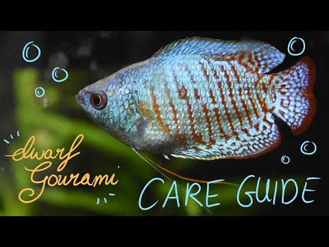 How To Care For A DWARF GOURAMI!