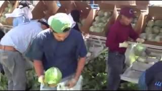 Lechugeros en Salinas CA
