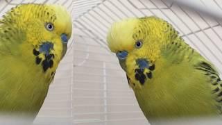 Muhabbet kuşu Fıstık Konuşuyor konuşturuyor #dinletkonuşsun