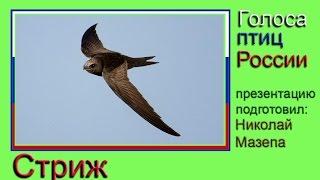 Стриж. Голоса птиц России