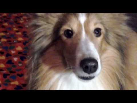 Sheltie Elvis: psie sztuczki -dog tricks 1