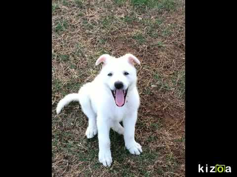 Kizoa Video Maker: White german shepherd 'Penny' time lapse - 1 week to 8.5 weeks