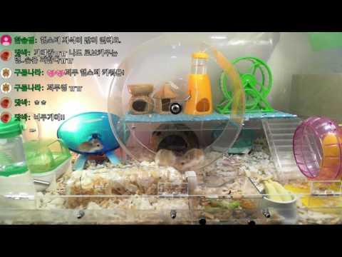 로보 햄스터 집에 ◆초대형 쳇바퀴!!를 넣어보았다!!!