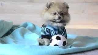 Собака породы шпиц, щенок