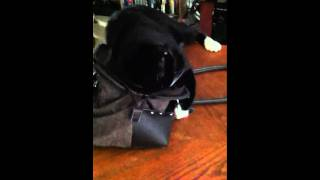 Cat in a purse Thumbnail