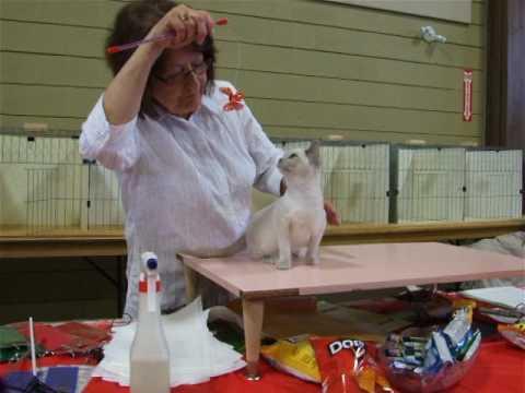 Zanadu Angel Baby, Tonkinese kitten first show
