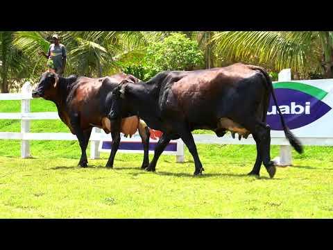 LOTE 16   7065AY  7064AY   SÃO DOMINGOS