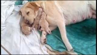 Labrador Giving Birth / Amazing!! - Greece (29-01-2013)
