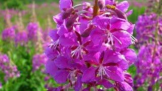 видео Уникальные лечебные свойства травы иван-чай, лечебные свойства