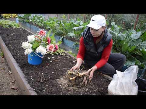 Как выкапывать и хранить георгины на зиму