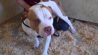 A4595232 Scooby   Staffordshire Terrier Bulldog Mix