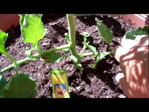 토마토 순치기 가지치기