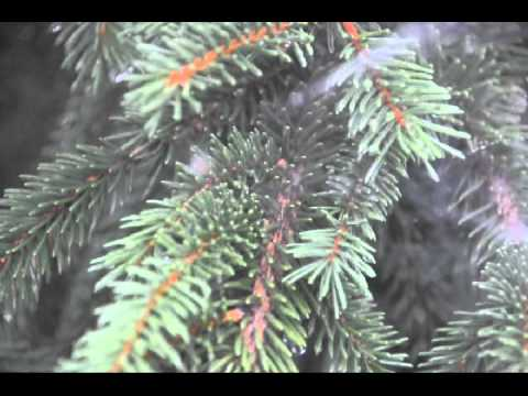mass attack of spiders in a christmas tree field youtube. Black Bedroom Furniture Sets. Home Design Ideas