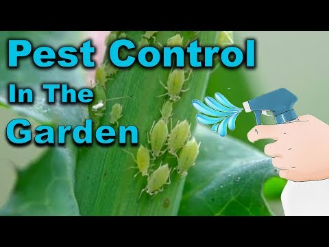 aphid-control---kill-whiteflies---5-ways-including-neem-oil