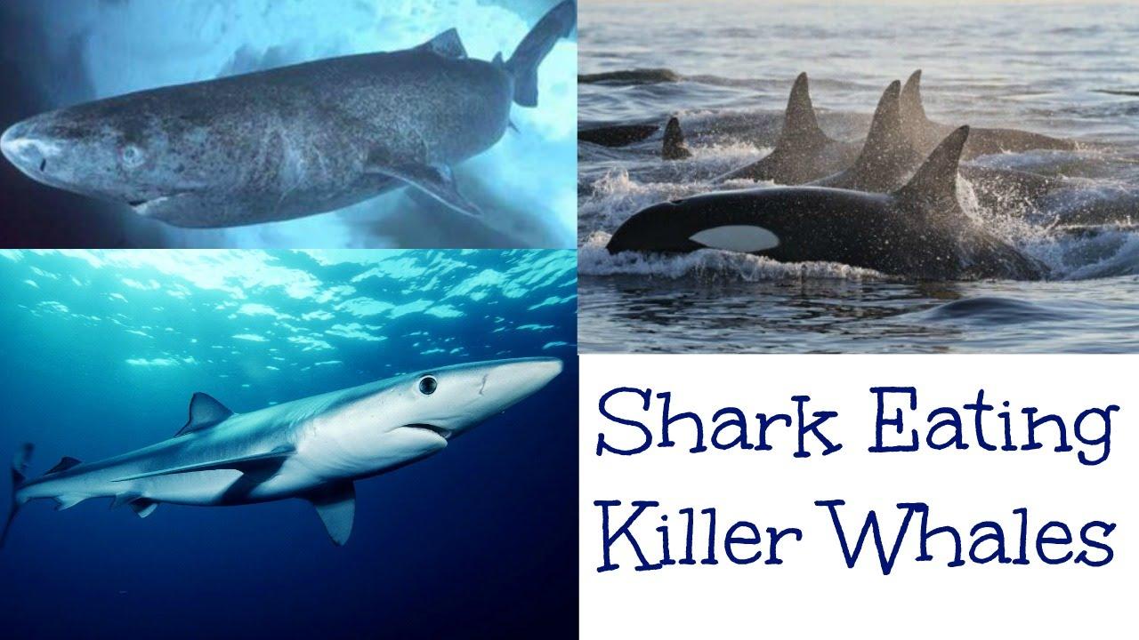 SHARK-EATING KILLER WHALES!!! ONE MINUTE WILDLIFE - YouTube