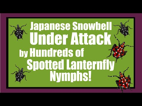 Spotted Lanternfly Nymphs Attack Snowbell Tree!