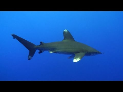 Sharks - A Divers Tribute (Shark diving in the Maldives, Red Sea, Bahamas, Fiji and Galapagos)