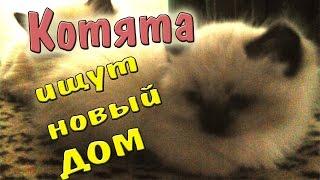 Смешные котята породы Невская маскарадная ищут семью!