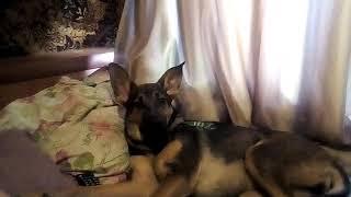 Собака смотрит телевизор 🐕