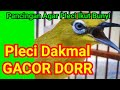 Pleci Gacor Nembak Masteran Manok  Mp3 - Mp4 Download