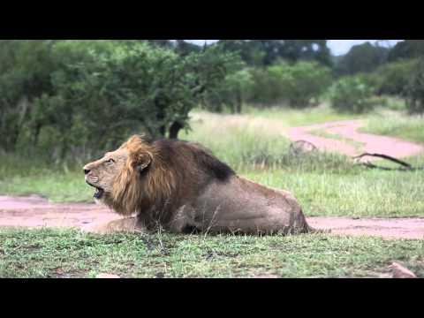 Mighty lion roar