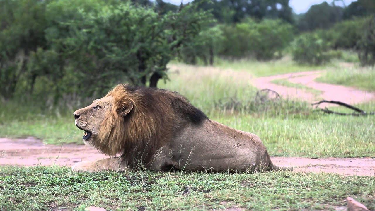 Mighty lion roar - YouTube - photo#6