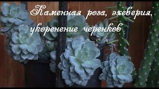 Каменная роза,  эхеверия, молодило.  Как сажать черенки.