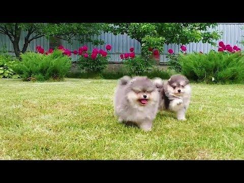Pomeranian فنجان جرو للبيع! فنجان، كلب صغير طويل الشعر