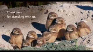 Thank You 2017: Burrowing Owl Video
