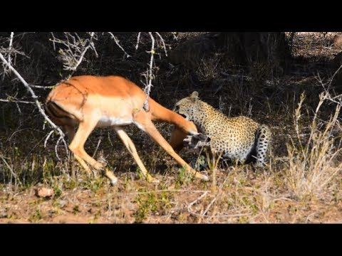 Leopard Kill An Impala Next To The Road Amazing Sighting...