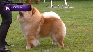 Chow Chows | Breed Judging 2021