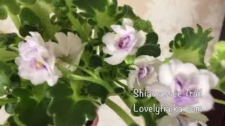 Фиалка Shiawassee Trail - Lovely Fialka