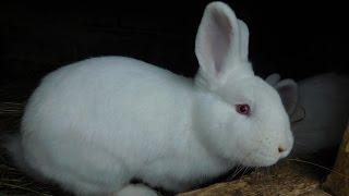 Witaminy w życiu królika