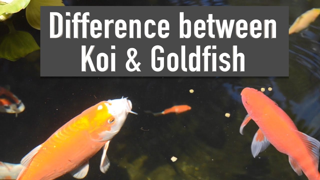 difference between koi goldfish youtube ForWhere To Buy Koi Fish Near Me