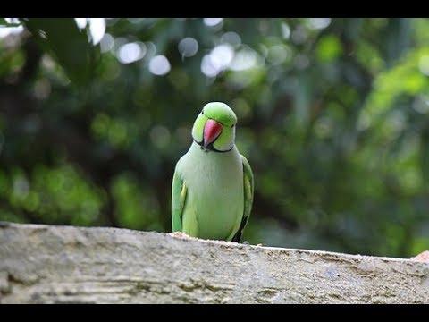 funny talking parrot, sindhi bi bolta ha...