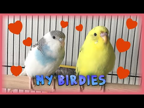 Bad quality videos of my pet birds ❤️ - YouTube