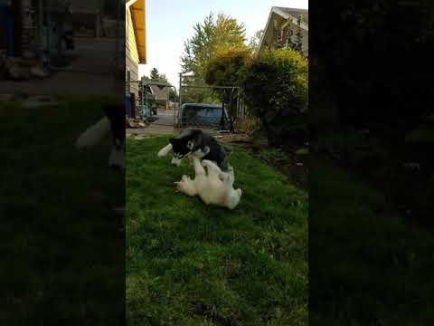 Oregon siberian huskies