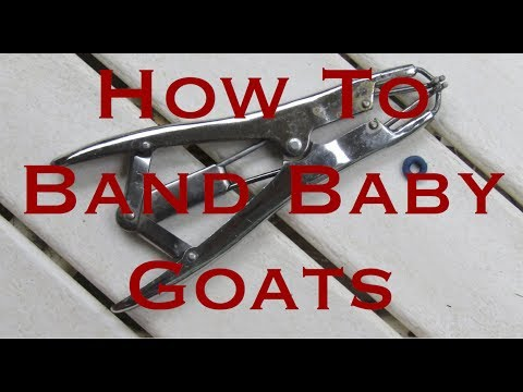 How To Band Baby Goats - Green T Goats